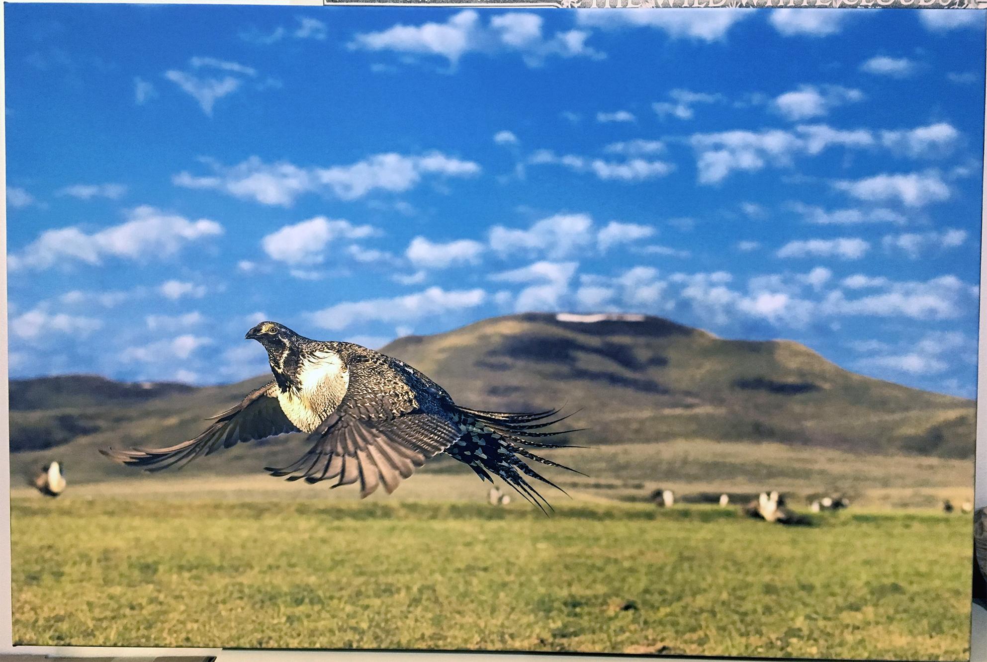Sage Grouse in Flight - Noppadol Paothong