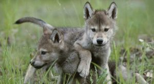 Wolf puppies, photo by IM AND JAMIE DUTCHER/NATIONAL GEOGRAPHIC STOCK P. 85)