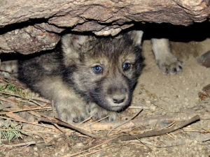 USFWS wolf pup emerging from den